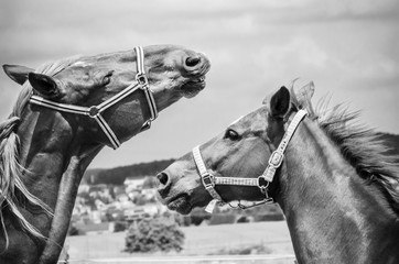 Zwei Pferde spielen auf der Koppel in schwarz/weiß