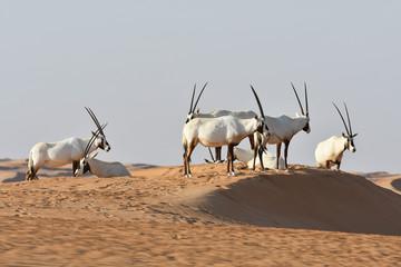 Photo sur Aluminium Antilope Arabische Oryx