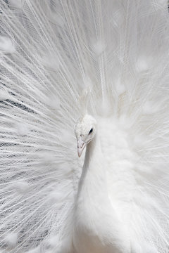 White peacock with fanned out feathers