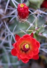 Bright Red Claret Cup Cactus Flower with Soft Focus Background