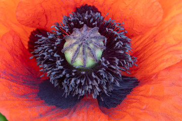 Red and Orange Poppy Flower Close-up