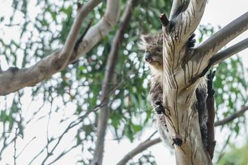 Wall Murals Tokyo Nasser Koalabär Koala auf einem Eukalyptus Baum in Victoria Australien nach einem Regenschauer