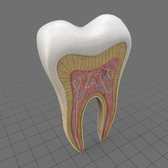 Tooth anatomy scheme