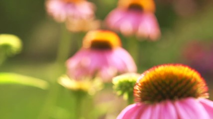 Klistermärke - Echinacea flowers. Beautiful nature scene with blooming medical Echinacea in sun flare. Slow motion 4K UHD video footage. 3840X2160