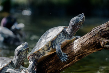 Turtle Basking on a Branch Wall mural