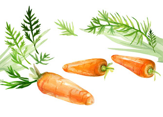 Watercolor drawing of carrots on a white background.