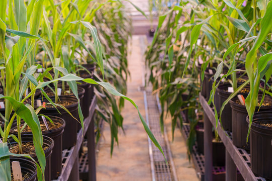 A long isle between rows of potted maize corn tightly grouped in a greenhouse.