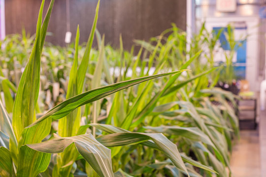 A long row of potted maize corn tightly grouped in a greenhouse.