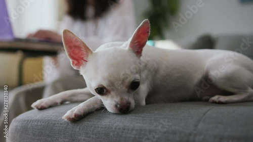 Chihuahua tube search videos