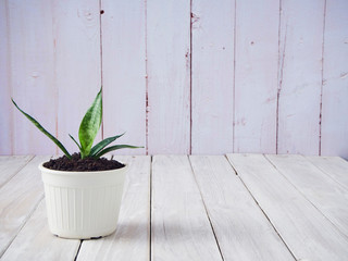 Sansevieria in a white pot on an old wooden table