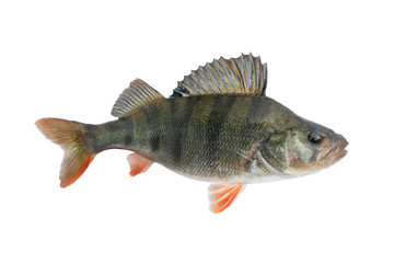Perch fish. Live trophy isolated on white background. Perca fluviatilis