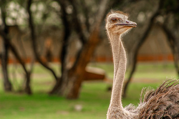 Ostrich with a twisted neck