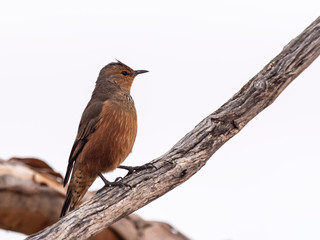 Rufous Treecreeper (Climacteris rufus). Lake Gilles Conservation Reserve, South Australia, Australia