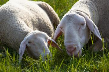 Zwei Schafe liegen im Gras