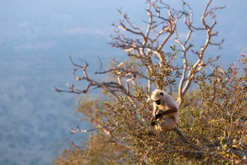 Wall Murals Roe monkey langur sits on ree on edge of a cliff overlooking gorge