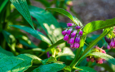 closeup of the bell shaped flowers of a common comfrey plant, wild plant from Eurasia