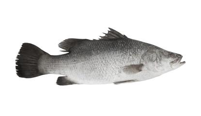 Barramundi fish isolated on white