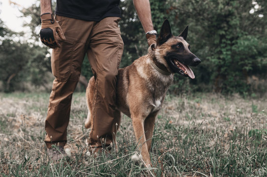Portrait of a brown belgian malinois that walks on a leash with the owner. Dog training. Nature is man's friend. Walk with a pet in the park