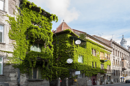 House covered with common ivy (hedera helix)