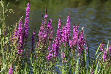 Lythrum salicaria flower blooming, common names are purple loosestrife, spiked loosestrife, or purple lythrum