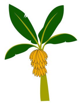 Exotic banana tree, illustration, vector on white background.