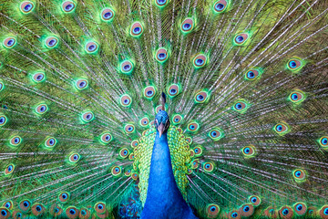 A close portrait of a blue peacock on the background of colorful feather