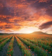 Fototapete - Rows of poppies flowers.