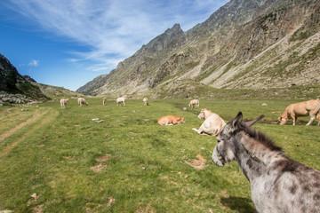 Vaches et ânes dans les Pyrénées