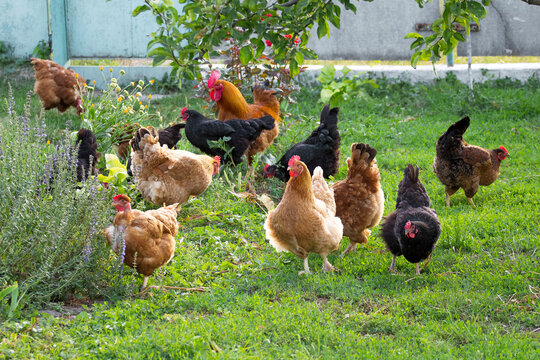 Chickens and cock in the garden on the farm are grazed on the grass_