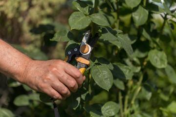 Fototapeta flower pruning