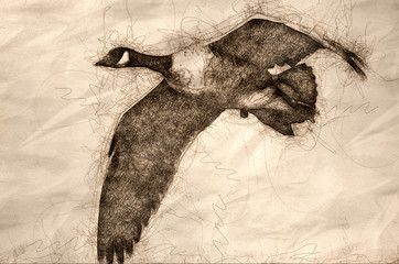 Wall Mural - Sketch of a Close Look at a Canada Goose in Flight