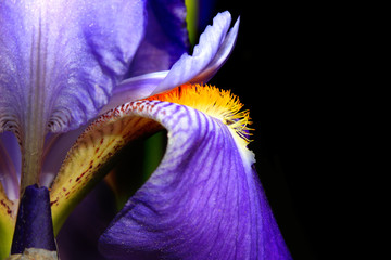 Extreme close up shot of Iris flower
