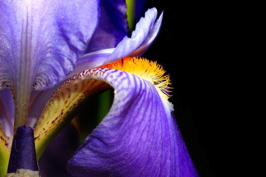 Extreme close up shot of Iris flower