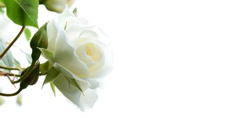 Weiße Rosen vor hellen Hintergrund - Freisteller - Hintergrund - Textfreiraum Wall mural