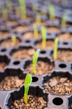 Starter tray of germinating maize seedlings emerging from the soil.