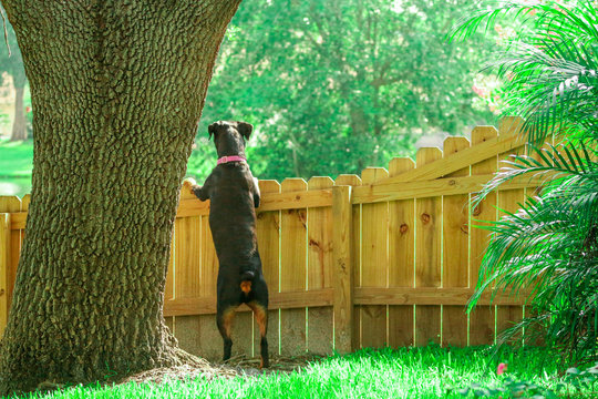 Guard Dog in the Fence