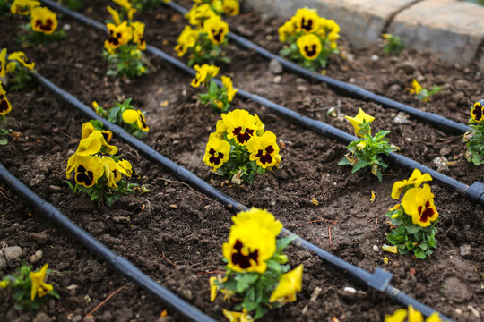 yellow pansy on flowerbed in park, drip irrigation