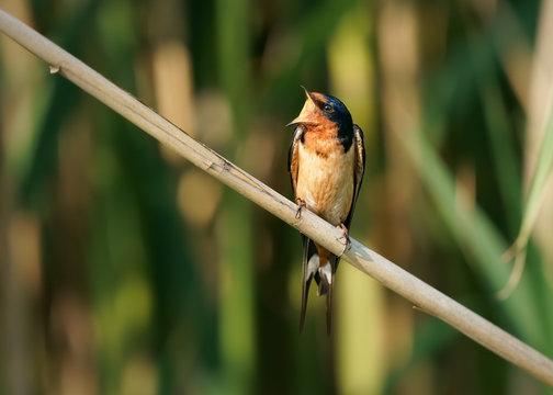 Barn Swallow with wide open beak perched on branch in meadow.