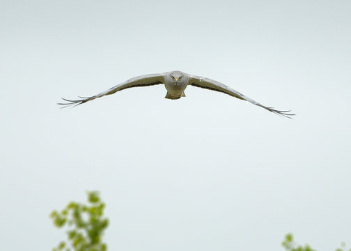 Northern Harrier ghost white male flying head-on staring with yellow eyes over green treetops against clear sky.