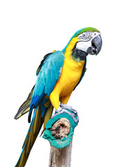 Macaw bird isolated with clipping path on white background. Portrait of amazon's parrot or colorful parrot image.