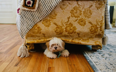 Dog hiding under gold couch