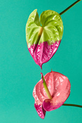 Pink and green anthurium painted with pink paint on a green background
