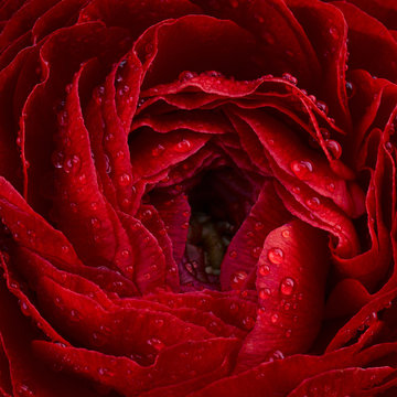 Close-up of the Ranunculus. Floral background from red buttercup, spring time