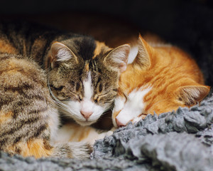 Close-up of cute cats sleeping one close to the other cheek to cheek