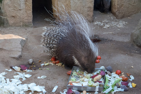 Porcupine eating beetroot outside in the paddock.