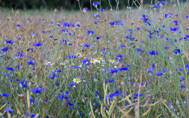 A view of wild cornflowers in the midst of cereals.