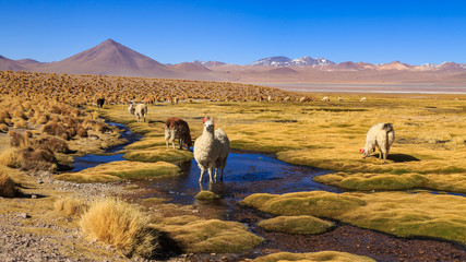 Zelfklevend Fotobehang Honing Lama standing in a beautiful South American altiplano landscape