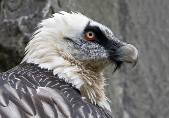 Close-up view of a Bearded vulture (Gypaetus barbatus)