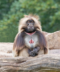 Frontal view of a male Gelada (Theropithecus gelada)