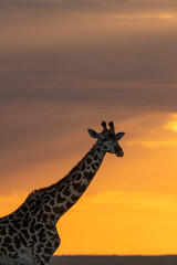 A silhouette of Giraffe walking with setting sun in the background inside Masai Mara National Reserve during a wildlife safari